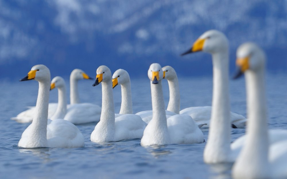 swan_birds_flock_fly_71935_1920x1200.jpg